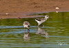 American Avocet chicks
