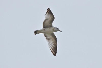 Ring Billed Gull (Larus delawarensis)
