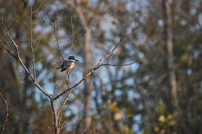Belted Kingfisher (Megaceryle alcyon) female