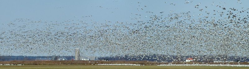 SnowGeese_Panorama2-3