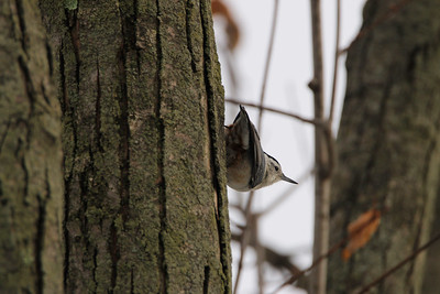 White Breasted Nuthatch (Sitta carolinensis)