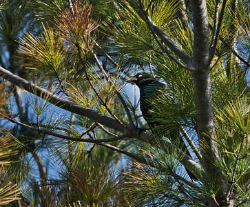 Common Grackle (Quiscalus quiscula)