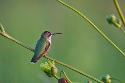 Ruby Throated Hummingbird (Archilochus colubris)