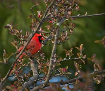 Northern Cardinal (Cardinalis cardinalis)