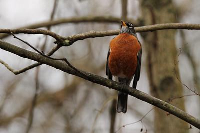 American Robin (Turdus migratorius) female