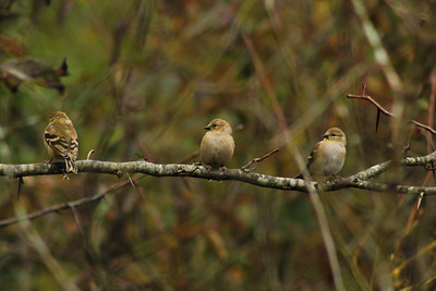 Three Juvenile Golden-Crowned Kinglets (Regulus satrapa)