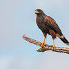 Harris Hawk, Parabuteo unicinctus, in Southwest Texas.