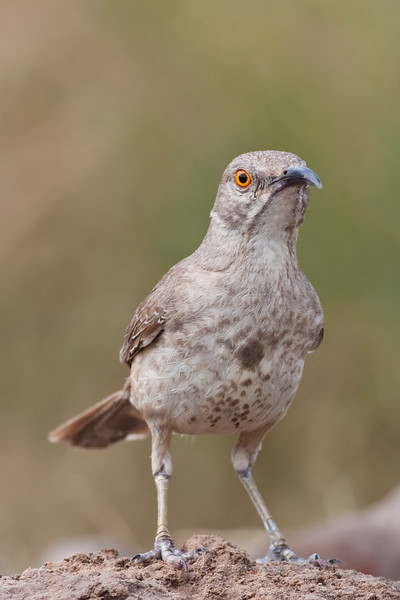 Curve-billed Thrasher, Toxostoma curvirostre, a perching bird of the thrasher group, trying to keep cool on a ranch in South Texas.