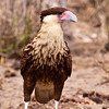 Crested Caracara Juvenile, Caracara cheriway, (older name - polyborus plancus) at the Javelina-Martin ranch and refuge near McAllen, Texas, in the Rio Grande Valley. This ranch and conservation refuge is part of a coalition of ranchers in the Rio Grande Valley which promotes restoration of natural habitats for native species.