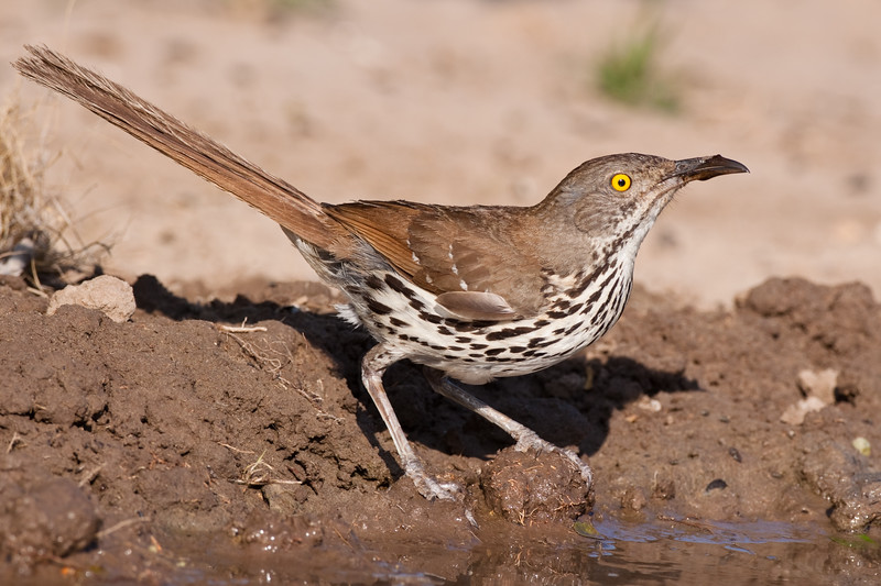 Long-billed Thrasher, Toxostoma longirostre, looking for water and relief from summer heat, on a ranch in South Texas.
