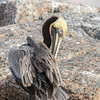 Brown Pelican preening on rocks in harbor at Port Aransas, Texas.