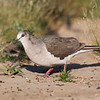 White-tipped Dove, Leptotila verreauxi, a large New World tropical dove, on a ranch in South Texas.