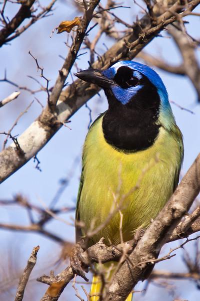 Green Jay, Cyanocorax yncas, at the Javelina-Martin ranch and bird refuge near McAllen, Texas.