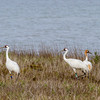 Whooping Crane family with juvenile in Aransas Park National Wildlife Refuge on the Gulf Coast of Texas.
