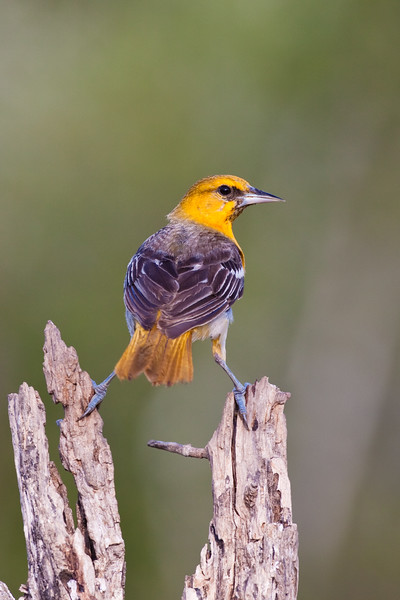 1st Spring juvenile Bullock's Oriole, Icterus bullockii, trying to keep cool during a hot summer on a ranch in South Texas.