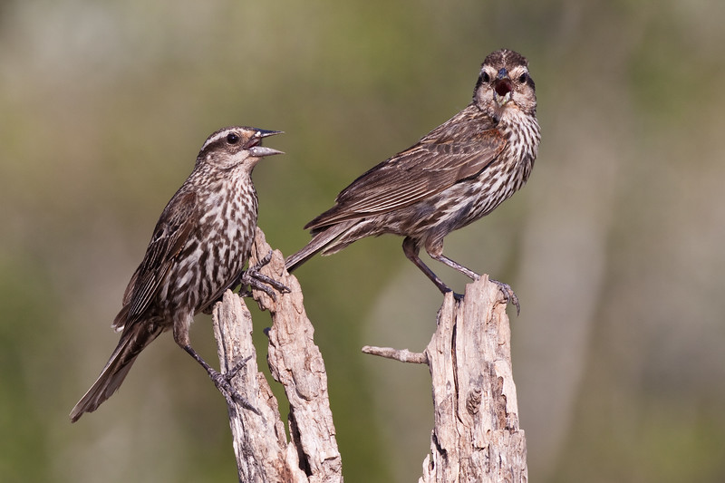Female Red-winged Blackbirds, Agelaius phoeniceus, looking for water and relief from summer heat, on a ranch in South Texas.