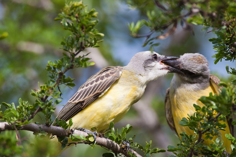Two Couch's Kingbirds, Tyrannus couchii, one feeding the other, on a ranch in South Texas.