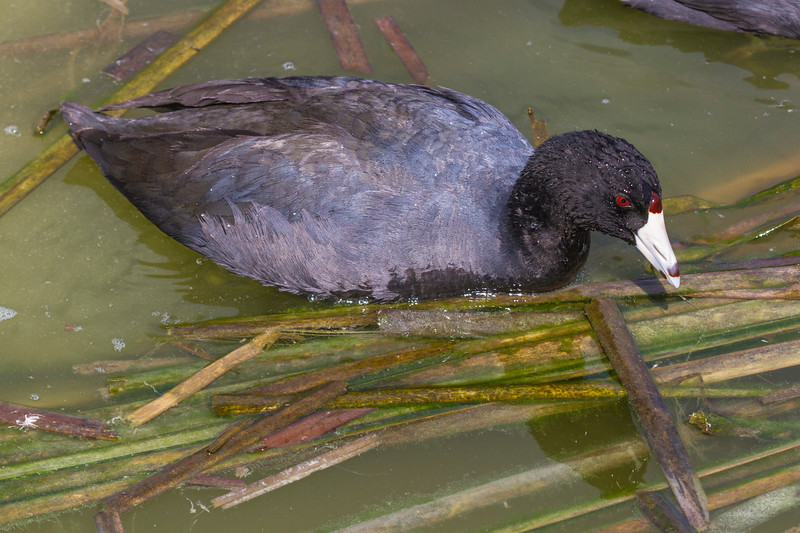 American Coot at the Birding and Nature Center in Port Aransas, Texas.