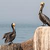Brown Pelican on rocks in Port Aransas harbor.