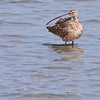 Long-billed Curlew, Numenius americanus, fishing in the coastal marshes of the south Texas gulf coast at the South Padre Island Birding and Nature Center.