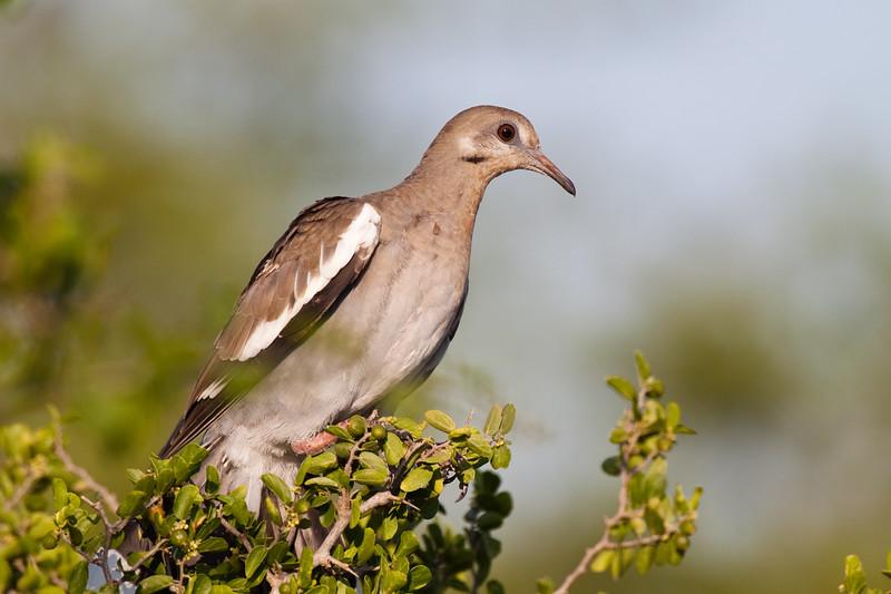 White-winged Dove, Zenaida asiatica, on a ranch in South Texas.