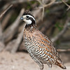 """Northern Bobwhite, the  bobwhite quail (Colinus virginianus) which received its name from a distinct, whistled """"bobwhite"""" call, looking for water and relief from summer heat, on a ranch in South Texas."""