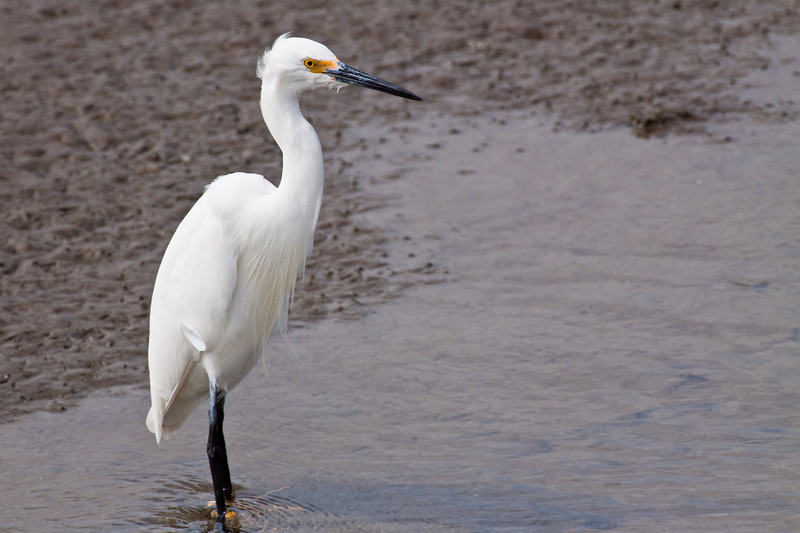Snowy Egret, Egretta thula, a small heron in breeding plumage, fishing in the coastal marshes at South Padre Island Nature and Birding Center on the Texas Gulf Coast.