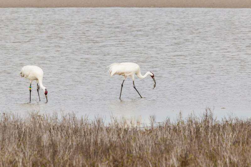 Whooping Cranes in Aransas Pass National Wildlife Refuge, their winter feeding refuge.