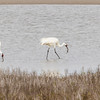 Whooping Cranes in Aransas Pass National Wildlife Refuge, their winter feeding refuge.