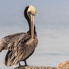 Brown Pelican preening on rocks in harbor at Port Aransas, Texas.