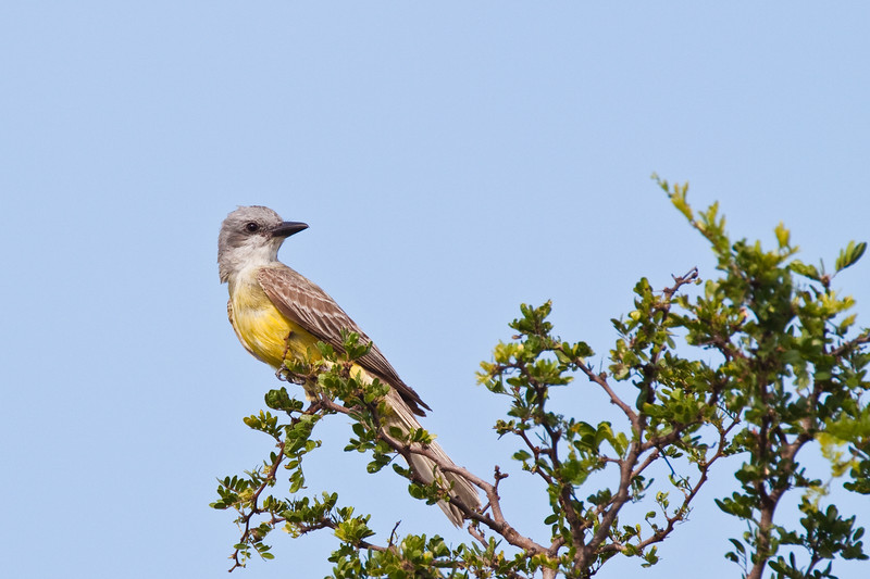 Couch's Kingbird, Tyrannus couchii, on a ranch in South Texas.