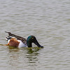 Northern Shoveler duck fishing at the Birding and Nature Center in Port Aransas, Texas.