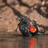 Red-winged Blackbird, Agelaius phoeniceus, taking a bath for relief from summer heat, on a ranch in South Texas.