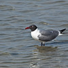 Laughing Gulls, Larus atricilla, at the South Padre Island Birding and Nature Center on the Texas Gulf Coast.