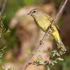 Orange-crowned Warbler, Vermivora celata, in Southwest Texas.