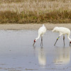 Pair of Whooping Cranes in Aransas Pass National Wildlife Refuge on the Gulf Coast of Texas.