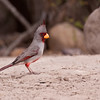 Pyrrhuloxia, Cardinalis sinuatus, at the Javelina-Martin ranch and refuge near McAllen, Texas, in the Rio Grande Valley. This ranch and conservation refuge is part of a coalition of ranchers in the Rio Grande Valley which promotes restoration of natural habitats for native species.