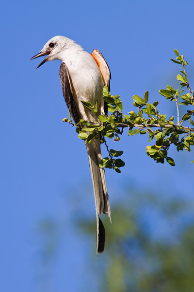Scissor-tailed Flycatcher, Tyrannus forficatus, on a ranch in South Texas.  This bird is the state bird of Oklahoma.