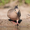 Mourning Dove, Zenaida macroura, looking for water and relief from summer heat, on a ranch in South Texas.