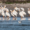 American White Pelicans, reflecting in water, as they wade on shoreline of Aransas Bay, at Port Aransas Harbor.