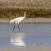 Whooping Crane in Aransas Pass National Wildlife Refuge on the Gulf Coast of Texas.