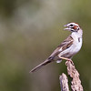 Lark Sparrow, Chondestes grammacus, a fairly large sparrow and the only member of the genus Chondestes, trying to keep cool on a ranch in South Texas.