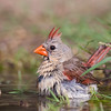 Female Northern Cardinal, Cardinalis cardinalis, taking a bath to get some relief from summer heat, on a ranch in South Texas.
