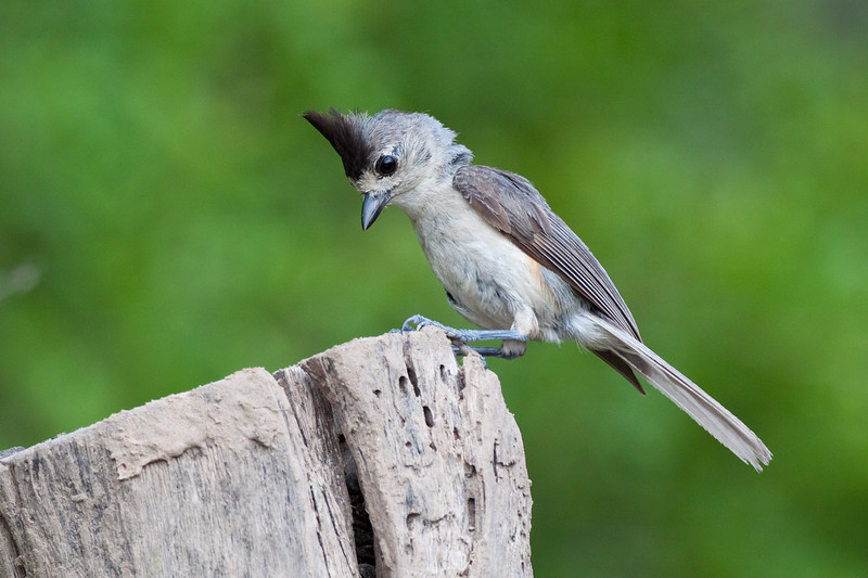 Tufted Titmouse, Baeolophus bicolor,  a small songbird from North America, in the tit and chickadee family, foraging for food on a ranch in South Texas.