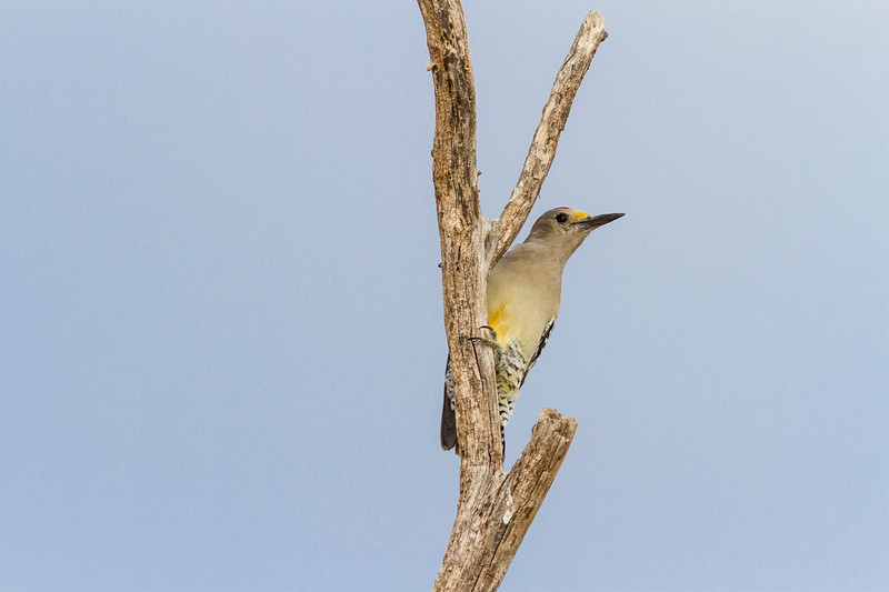 Golden-fronted Woodpecker, Melanerpes aurifrons, in Southwest Texas.