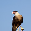 Crested Caracara, Caracara cheriway, (older name - polyborus plancus) at the Javelina-Martin ranch and refuge near McAllen, Texas, in the Rio Grande Valley. This ranch and conservation refuge is part of a coalition of ranchers in the Rio Grande Valley which promotes restoration of natural habitats for native species.