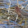 Green Heron stalking prey at the Birding and Nature Center in Port Aransas, Texas.