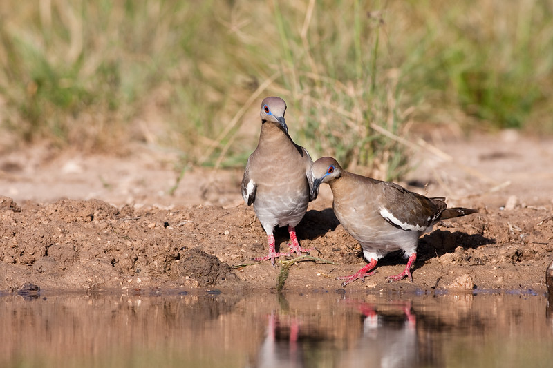 White-winged Doves, Zenaida asiatica, looking for  water and relief from summer heat, on a ranch in South Texas.