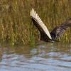 Turkey Vulture in flight over Port Aransas Bay, Port Aransas, Texas.