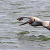 Brown Pelican flying low over water in search of fish at Port Aransas, Texas.